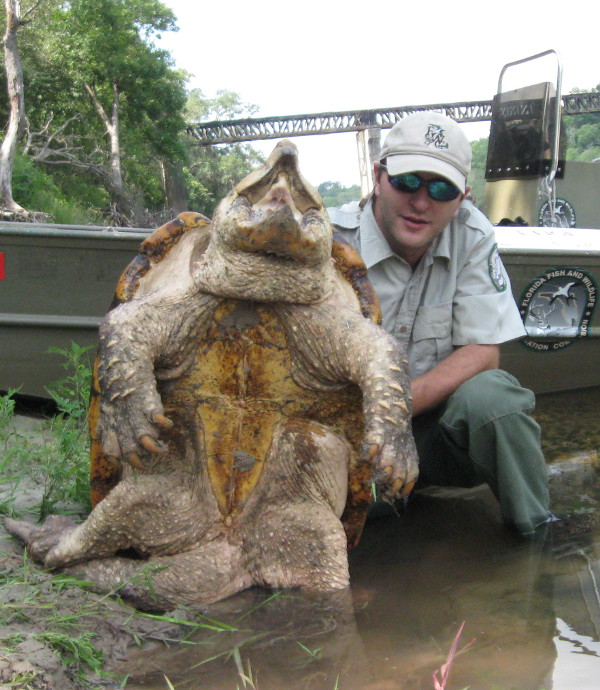 The Alligator Snapping Turtle - Florida RV Trade ...  The Alligator S...