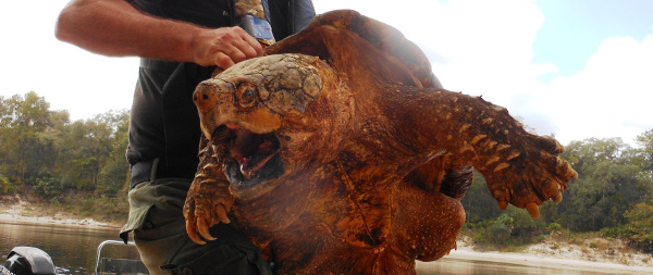 The Alligator Snapping Turtle Florida Rv Trade